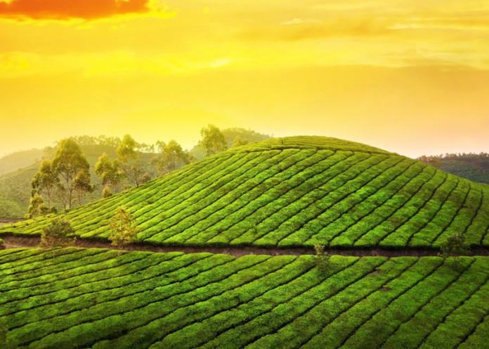 Tea garden hill