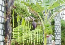 Mango Leaves Hanged