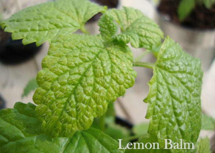 Amazing Benefits of Lemon Balm