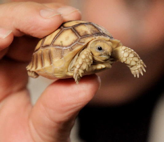 Care For A Pet Tortoise