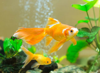 How To Take Care Of Goldfish?