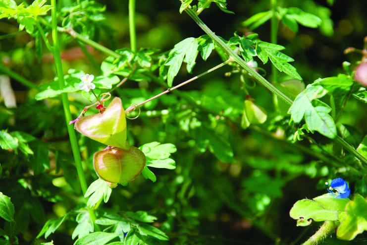 Cardiospermum helicacabum