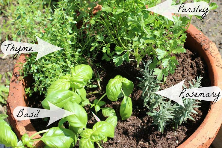 One pot indoor herb garden for all