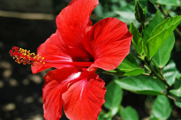 Hibiscus flower oil and pack