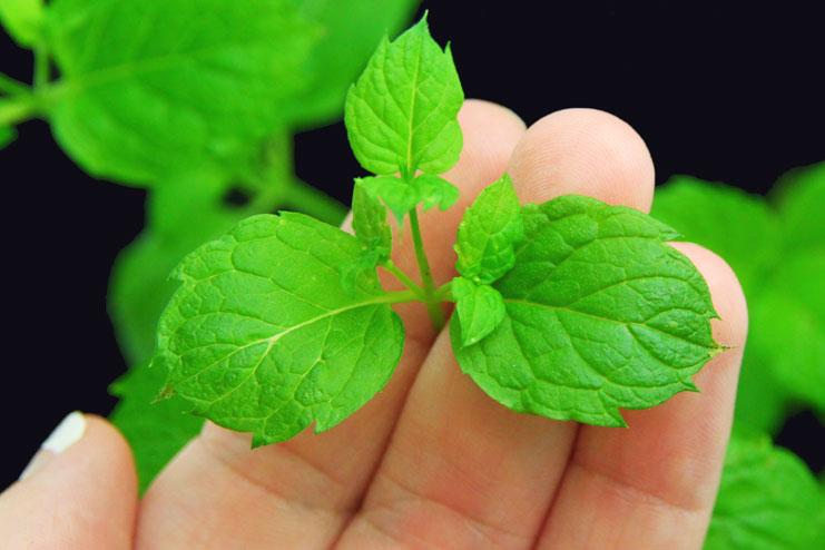 Multani mitti and Mint leaves