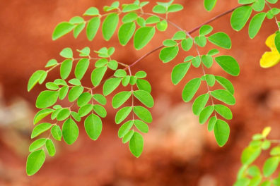 Surprising health and beauty benefits of Moringa leaves