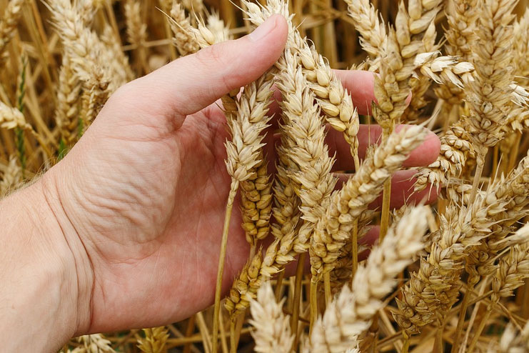 Benefits Of Wheat Germ Oil-Wheat germ oil